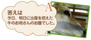答えは今日、明日に出産を控えた牛のお母さんのお腹でした。